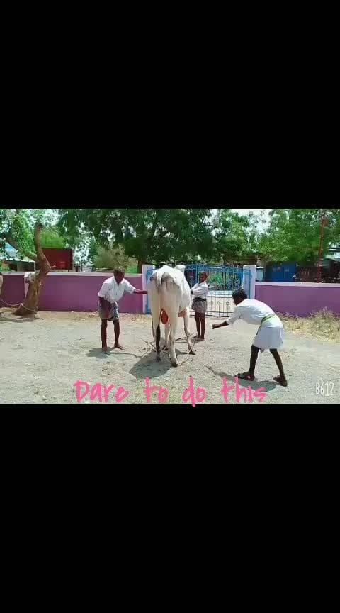 putting down of cow