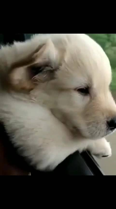 #dog #lab #labrador