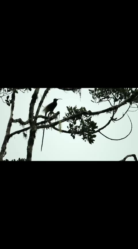 bird of paradise #wildlifephotography  #natgeo  #discovery  #birds  #natural-look