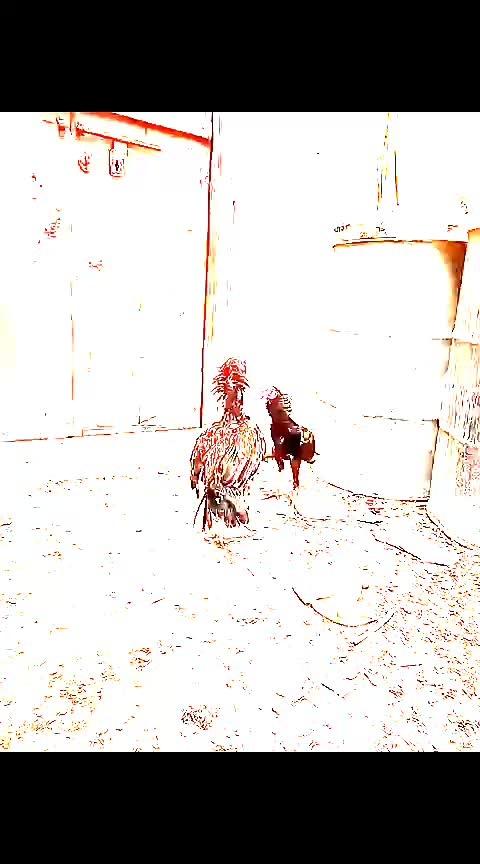 #fightback #black-and-red #bestredcock