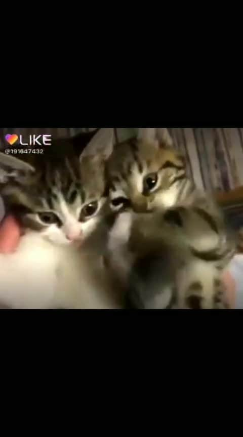 *Miyaauuuu 😘😘 .............. Miyaauuuu 😘😘............ Ooh meri Mou Mou......@mahiii4 .....😘🐈#catlove  #catlovers #playing-cats  ..............*Post was requested........ .!!