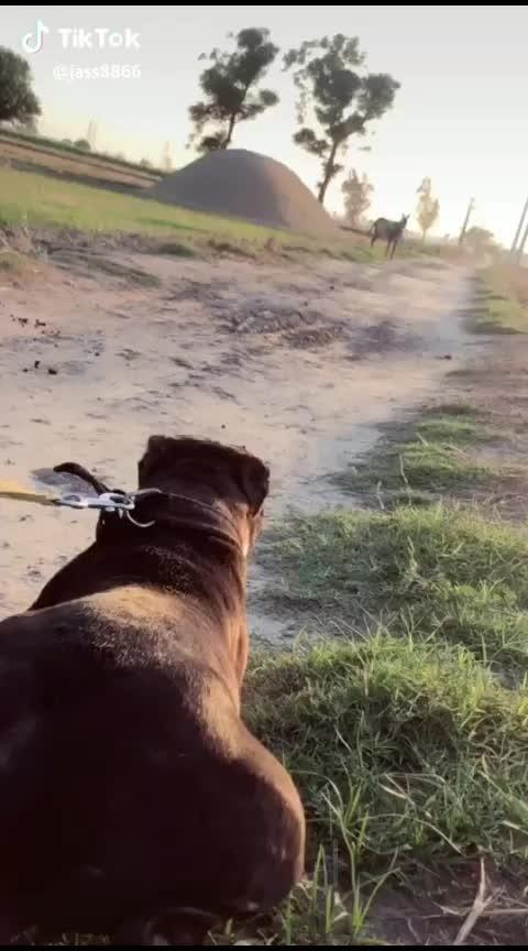 #pitbull #pitbulldog #pitbulls
