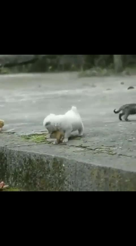 this adorable video of a pupper playing with li'l chicks is the perfect end to your 'ruff' week 🐾🐾🐾 #puppylove #puppy #puppies #pupglover #trendingnowonroposo #trendingnow #be-in-trend #dailypost #followmeonroposo
