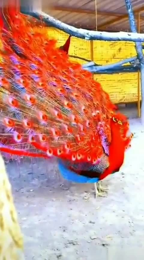 #peacock #blue-and-red