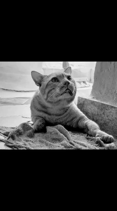 #domestic #cat #starring #eye #giving_pose #black & #white #stripes