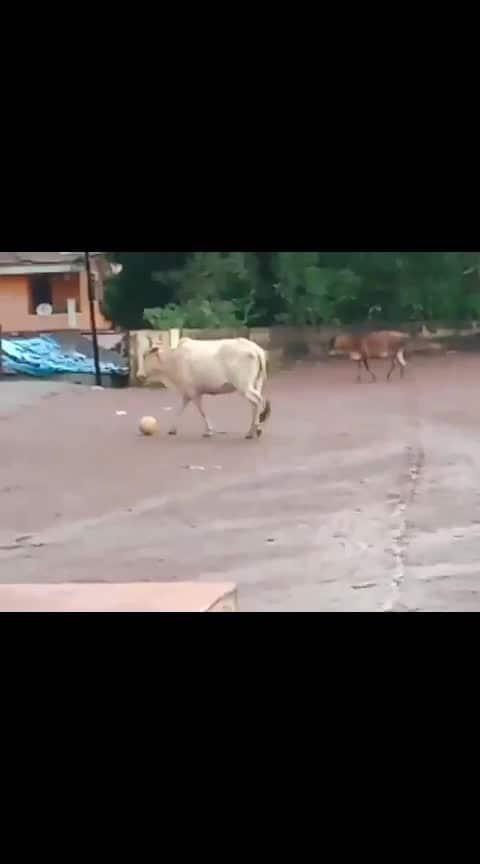 #chakdeindia #cows #football #footballgame
