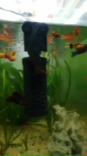 #aquarium #bettafish #guppies #fishlove