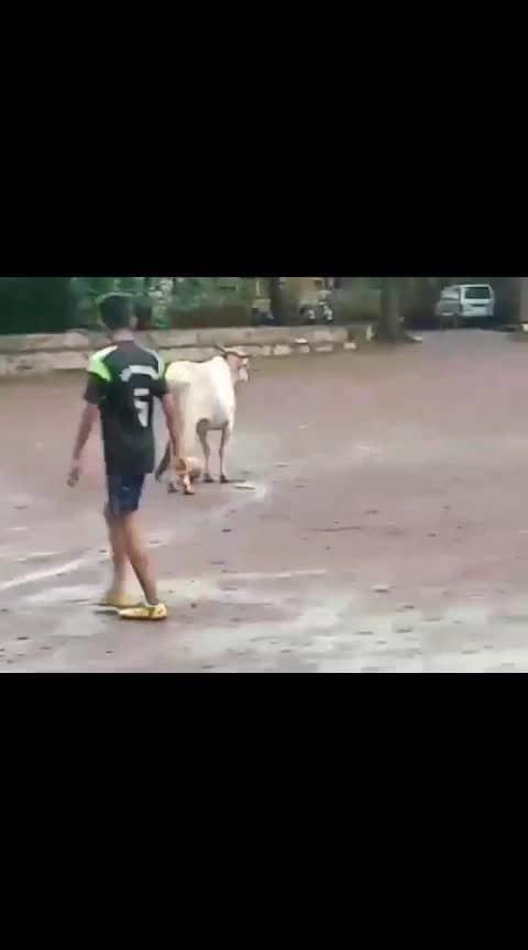 futbol knelt cow