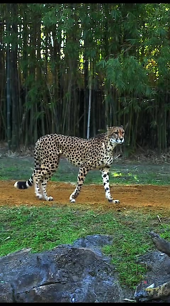 Amazing Facts about Cheetah Animal facts, cheetah facts