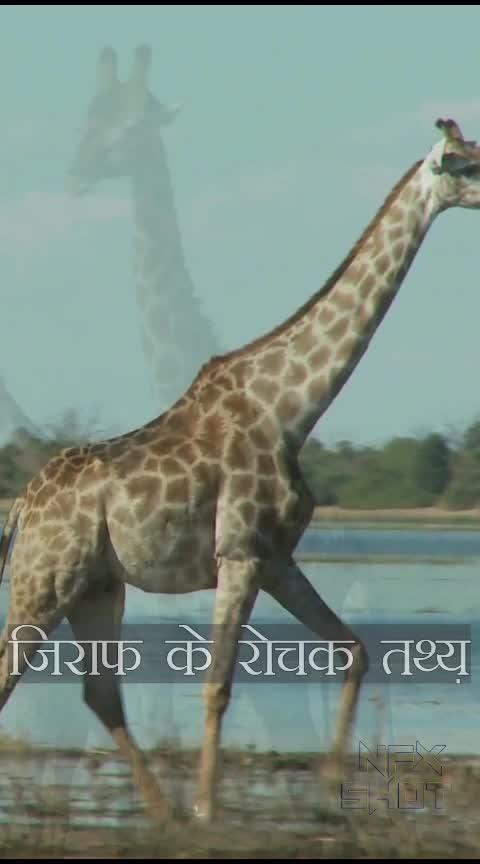 Amazing Facts about Giraffe. Giraffe facts. #facts  #fact  #giraffe