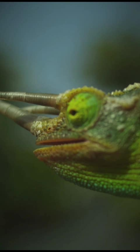 chameleon facts giragit #animals #facts #knowledge #chameleon #girggit