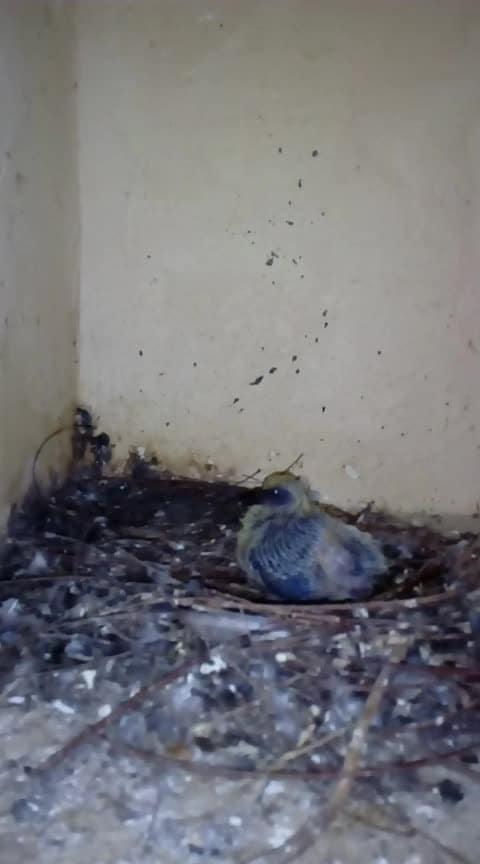 parava lovr 💓 #birdsworld #birdlovers #pegions #parava #rarevideo #viralvideo #viralvideos #naturelover #roposo #ropo-share