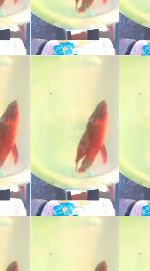 #roposo #fishlove #fishlovers #bettafish #redhot #fighter