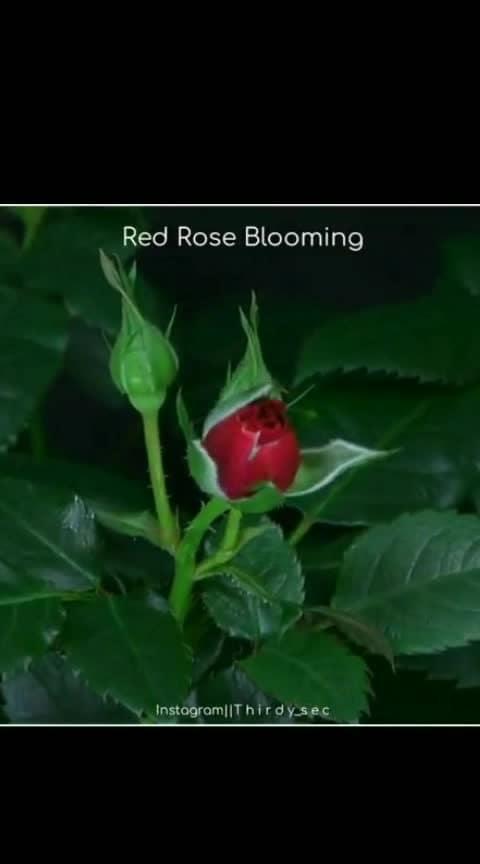rose bloom 🌹🌹