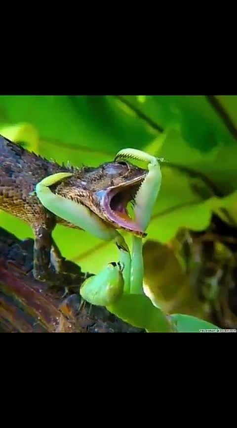 Mantis Attacks Chameleon