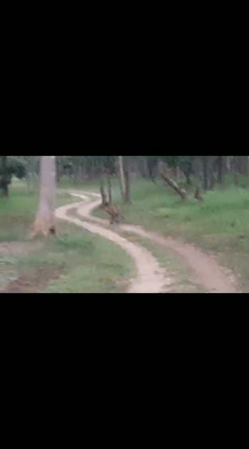 #wildlifesafari  tiger