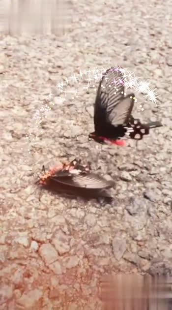 #butterflylove #