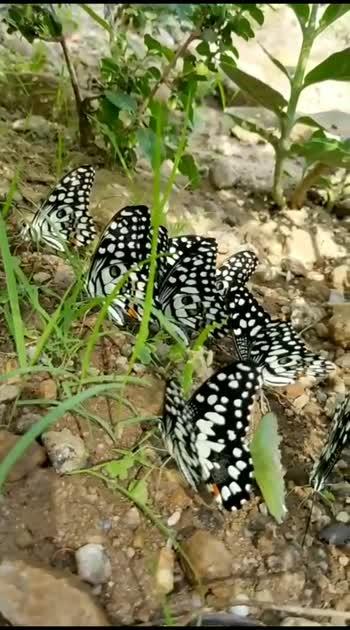 #butterflylove