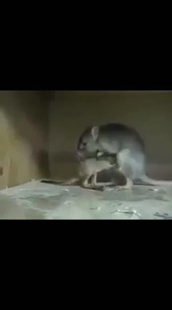 kangaroo mouse....