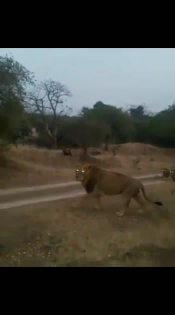 #lion #lions