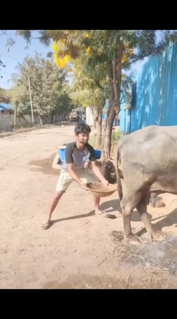 funny buffalo video