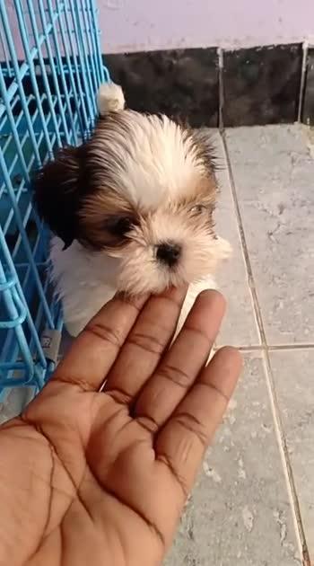divyasree #vdoes#shihtzu#breed#puppysneakpeak
