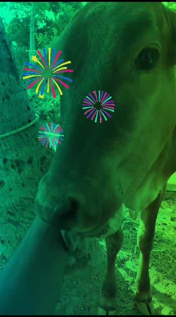 #cows #cowlove #chellakutty