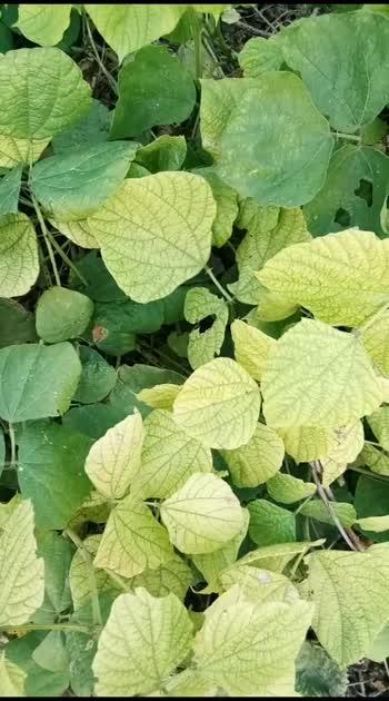 avarai leaf