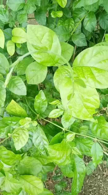 kundumalli leaf