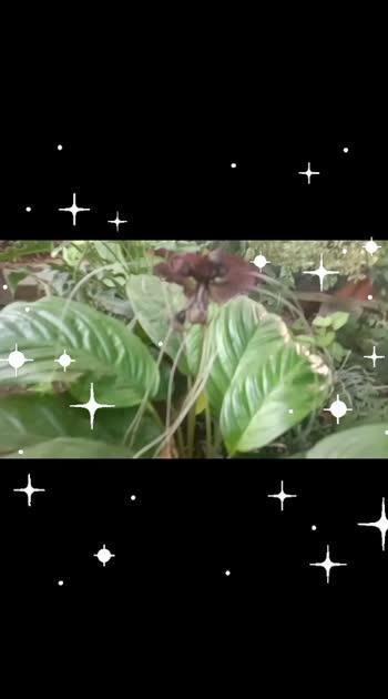 bat lily