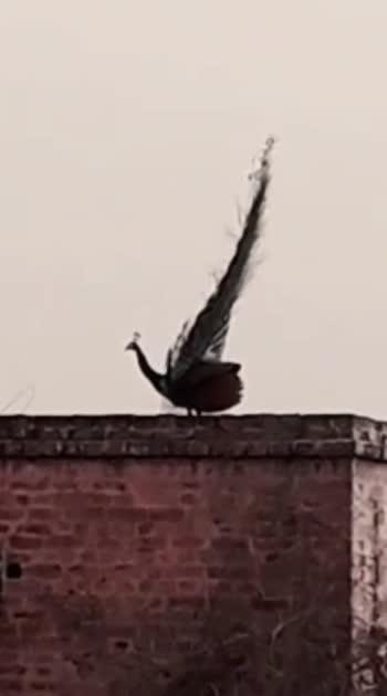 Peacock #roposo #roposostar #roposobeat #roposobeats #roposolove #roposolovers #peacock #peacockdesignpin #peacockblue