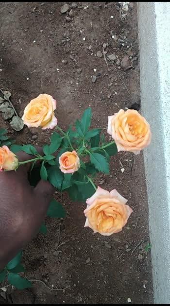 Five Rosa