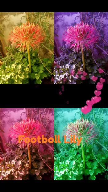 flower,footboll lily,red,pink,green,