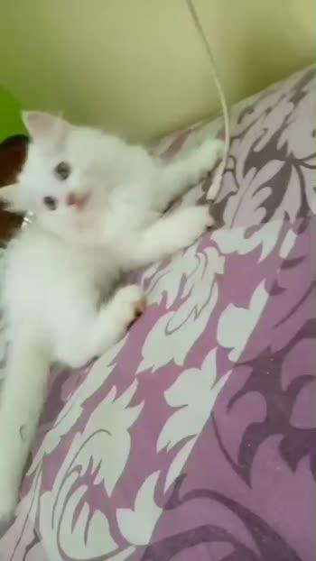 #persian #kitten #love