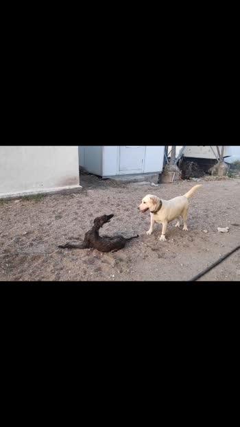 "my dogs ...""lab "" and ""panjabi hound """