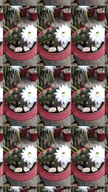cactus flowers 🤍🌵 #garden_explorers #whitehillmusic