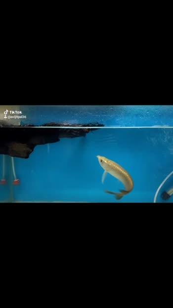 #aquariumfish #king#myvideo