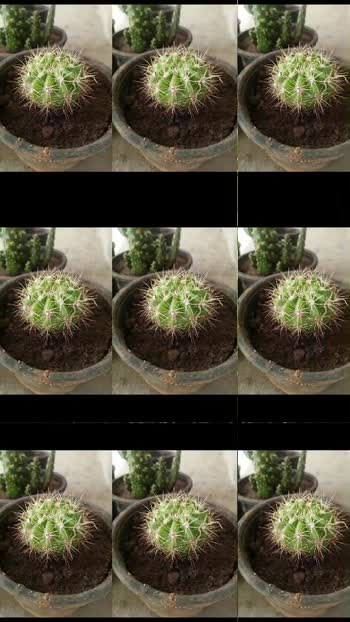 #Cactus #freshly #air #air freshener