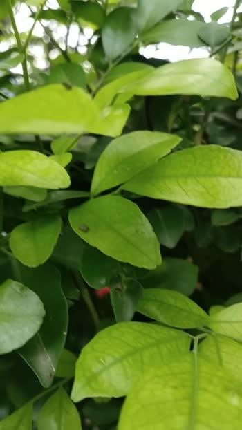 greenish leaves