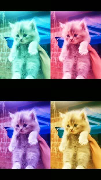 #cat#black #white#persian