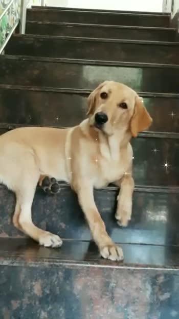 #petlove#dog #puppy #cute #eyes #dogs_of_roposo #pet #petvideo #dogsitting #ilovemydog #dogstagram #dogoftheday #lovedogs #lovepuppies #hound #adorable #doglover #mypuppy