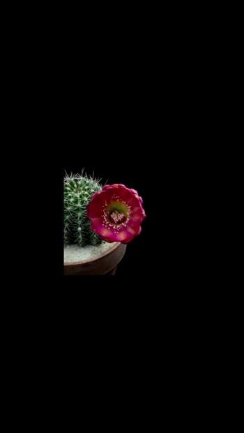 Cactus Blooming ☺️☺️☺️