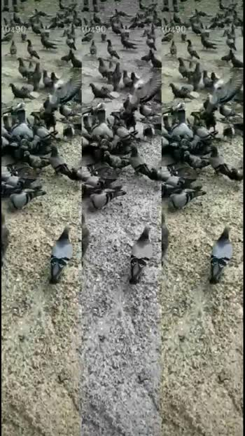 #favouritevoice #pigeonslove #flyhighend #naziaansari #naziaansari