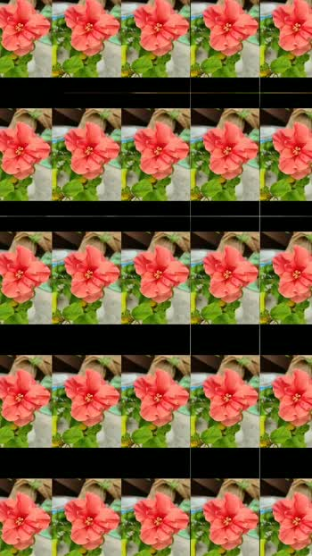 #foryoupage #followme #mygardenflower #flowerslover #hibiscusflower #bougainvillea #plumeria