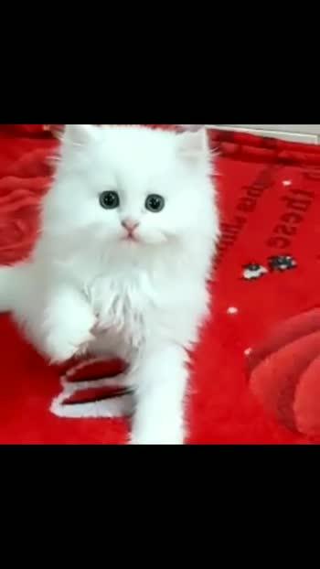 Persian cats#mykittensite