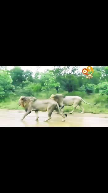 गिर में बब्बर शेरों की लटार कैमरे में कैद हुए।  खुशबू है एशियाई शेरों की। खुशबू है गुजरात की। #gir  #girnarhills #girnationalpark #gujarat #lions #rain #asiaticlions #junagadh #gujarattourism #roposostar