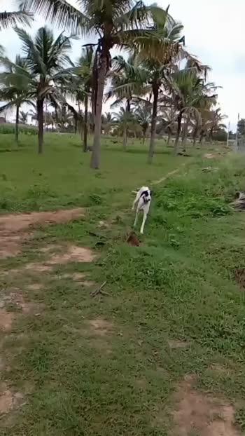 my Pammi🐕 mudhol hound #petlover #pet #roposostar #roposo #spandananandan