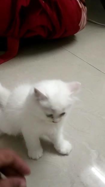 #catlove #cate #persian