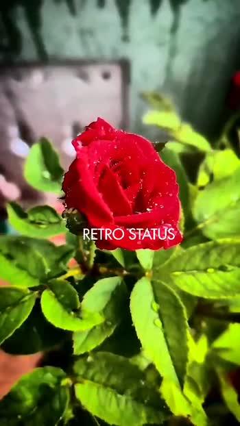 #rainy  #rain  #rainsongs  #rose #roseday #roses #rain #rainy #raining #rainstatus #flower #roseflower #roseforyou #love #love-status-roposo-beats #lovestatus #telugusong #telugu-roposo #roposostar #roposostatus #roposolovestatus #roposostar #roposo-beats #roposolovers #loveyou #loveyousomuch #lovers_feelings #arrahman #arrahmanmusic #arrahmanhits #arrahmanbgm #bgmlovers #bgmsongs #bgmlove #bgmstatus #telugulovestatus #telugustatussongs #best-song #bestsong #besttelugu #besttelugusongs #teluguwhatsappstatus #teluguwhatsaap #whatsappstatus #whatsapp-status #whatsapp_status_video #whatsapp #statusvideo #statusvideo #bestfriend #lovestatus #breakup