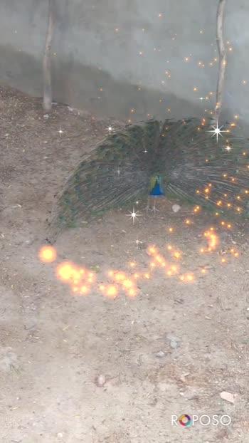 #peacockdesignpin #mhare-hiwade #vairalvideo #trendingvideo #goodmorning #roposo #indian #birds